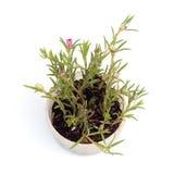 Flor de Portulaca en pote Fotografía de archivo libre de regalías