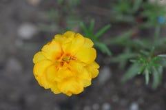 Flor de Portulaca grandiflora fotografía de archivo libre de regalías