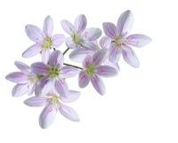 Flor de Pratensis del Cardamine imagen de archivo