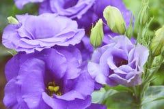Flor de Pueple Fotos de archivo libres de regalías