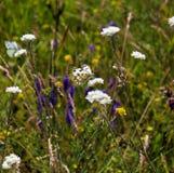 Flor de Pulmonaria Fotos de archivo