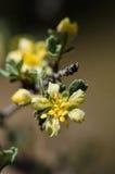 Flor de Purshia Tridentata Fotografía de archivo