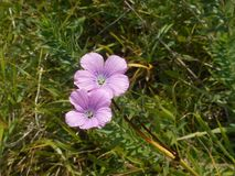 Flor de Roberto de hierba con el flor purpúreo claro fotos de archivo libres de regalías