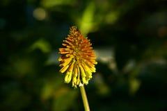 Flor de Rocket del áloe Foto de archivo