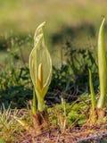 Flor de Roman Spring Fotografía de archivo