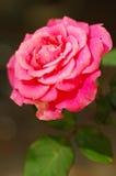 Flor de Rosa Fotografia de Stock