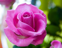 Flor de Rosa Fotografia de Stock Royalty Free