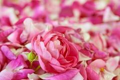 A flor de Rosa com água pequena deixa cair nela Fotografia de Stock Royalty Free