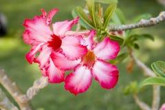 Flor de Rosa de deserto Imagem de Stock