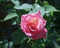 Flor de Rosa em Kent Reino Unido fotografia de stock royalty free