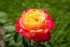 Flor de Rosa em um jardim Foto de Stock