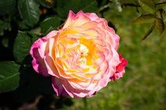 Flor de Rosa em um jardim Fotografia de Stock Royalty Free