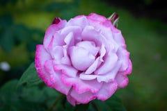 Flor de Rosa em um jardim Foto de Stock Royalty Free