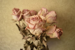 Flor de Rosa inoperante Imagens de Stock Royalty Free