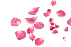Flor de Rosa isolada no branco Imagens de Stock