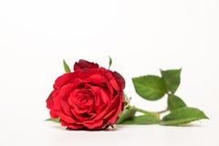 Flor de Rosa no fundo branco Imagens de Stock