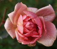 Flor de Rosa no jardim fotografia de stock