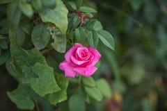 A flor de Rosa no verde sae do fundo Foto de Stock