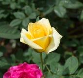 Flor de Rosa nos jardins Fotografia de Stock Royalty Free