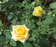 Flor de Rosa nos jardins e na flor vermelha vermelha Imagens de Stock Royalty Free