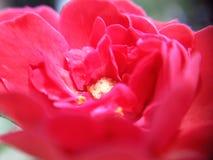 1 flor de Rosa que mostra as pétalas com detalhe com lente macro imagens de stock
