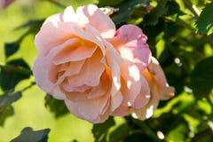 Flor de rosas cor-de-rosa Imagem de Stock Royalty Free