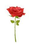 Flor de Rose Fotografía de archivo