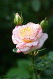 Flor de Rose foto de archivo libre de regalías