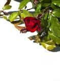 Flor de Rose aislada en el fondo blanco Imagen de archivo