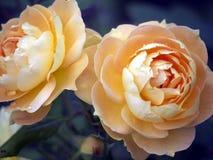 Flor de Rose con gotas de lluvia Fotografía de archivo