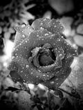 Flor de Rose con gotas del agua Imágenes de archivo libres de regalías