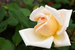 Flor de Rose del color crema apacible Fotografía de archivo libre de regalías