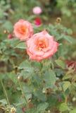 Flor de Rose en el jardín fotografía de archivo