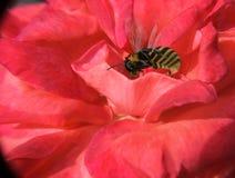 Flor de Rose en la cual una abeja vuela Fotos de archivo