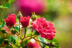 Flor de Rose en un fondo verde de la falta de definición fotografía de archivo