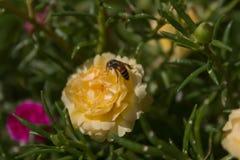 Flor de Rose Moss del enjambre de la abeja Fotografía de archivo libre de regalías