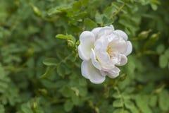 Flor de Rose salvaje blanca Fotografía de archivo