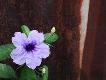 Flor de Ruellia (linn do tuberosa de Ruellia ) Fotos de Stock Royalty Free