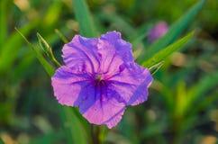 Flor de Ruellia na luz do sol Fotografia de Stock