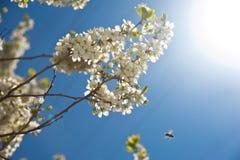 Flor de Sacura y una abeja Imagenes de archivo