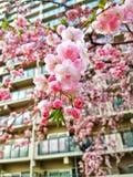 Flor de Sakura imagem de stock