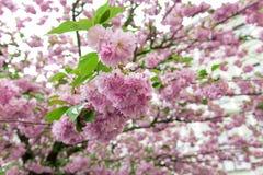 Flor de Sakura Imágenes de archivo libres de regalías