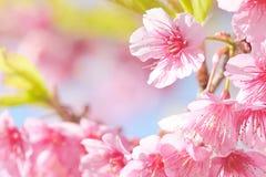 Flor de Sakura Imagenes de archivo