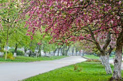 Flor de Sakura Fotos de archivo