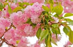 Flor de Sakura Fotos de archivo libres de regalías