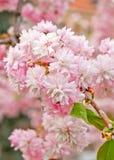 Flor de Sakura Fotografía de archivo