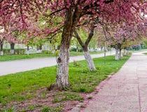Flor de Sakura Fotografía de archivo libre de regalías
