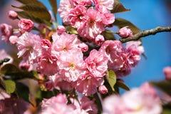 Flor de Sakura, cierre para arriba Imagen de archivo libre de regalías