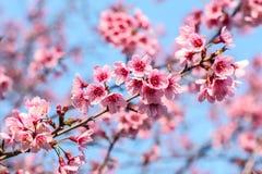 Flor de Sakura con sol de la mañana Imagen de archivo libre de regalías