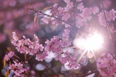 Flor de Sakura de la flor de cerezo o del rosa con el rayo de sol Imagen de archivo